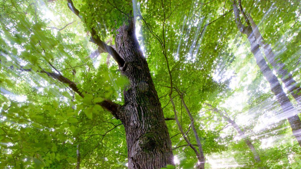 Light shines through leaves