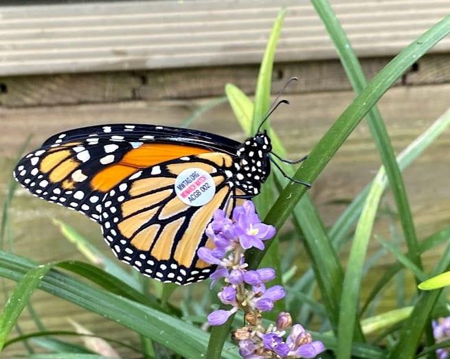 Parklands Monarch tagged