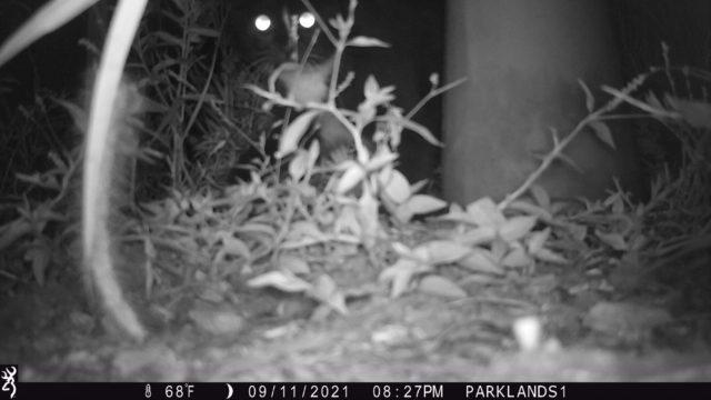Trail Cam Cat
