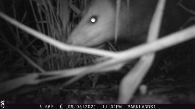 Trail Cam Opossum 2