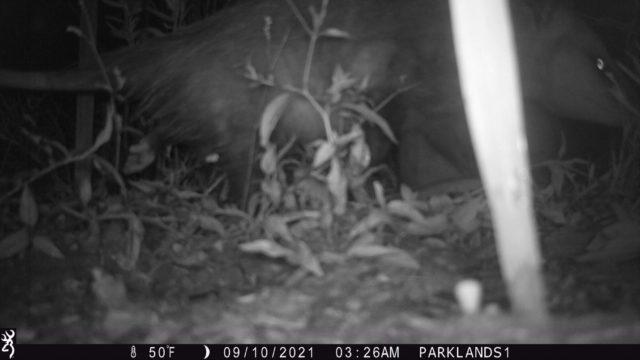 Trail Cam Opossum3