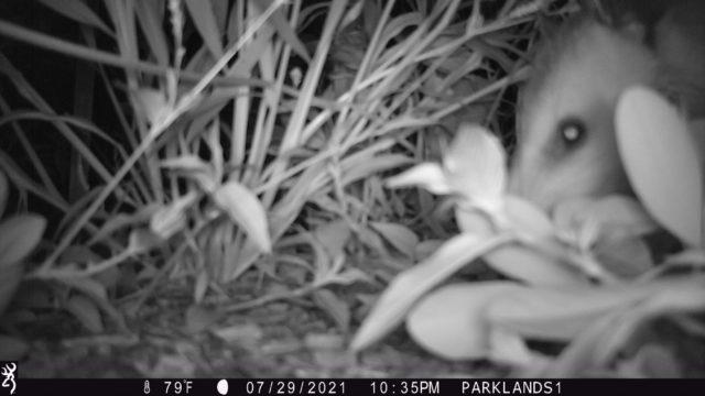 Trail Cam Opossum