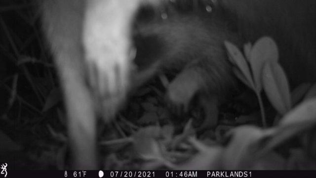 Trail Cam Raccoon 2