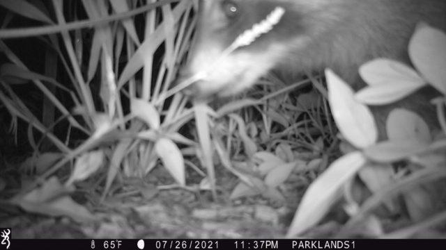 Trail Cam Raccoon